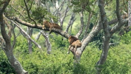 A lion and lioness in a tree at the Queen Elizabeth National Park in Uganda