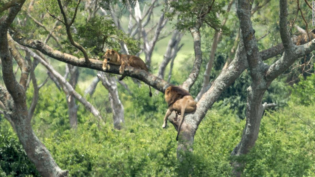 11 Lions Killed In A Suspected Poison Attack In Uganda Cnn