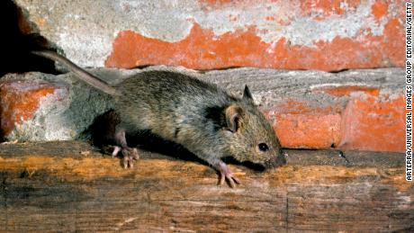 House mouse (Mus domesticus / Mus musculus) foraging inside building. (Photo by: Arterra/UIG via Getty Images)