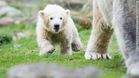 "Female polar bear baby ""Nanook"" follows her mother Lara during her first open air outing at the zoo in Gelsenkirchen, western Germany, on April 13, 2018. Nanook was born on December 4, 2017 at the zoo. / AFP PHOTO / dpa / Rolf Vennenbernd / Germany OUT        (Photo credit should read ROLF VENNENBERND/AFP/Getty Images)"