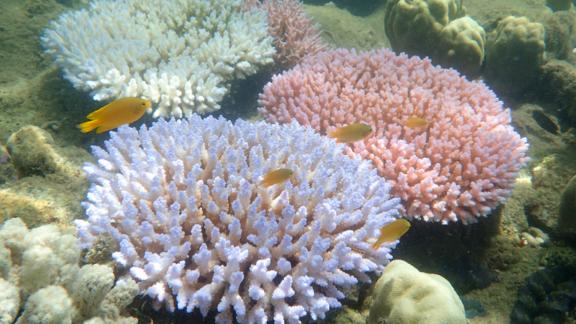The different color morphs of Acropora millepora, each exhibiting a bleaching response during mass coral bleaching event.