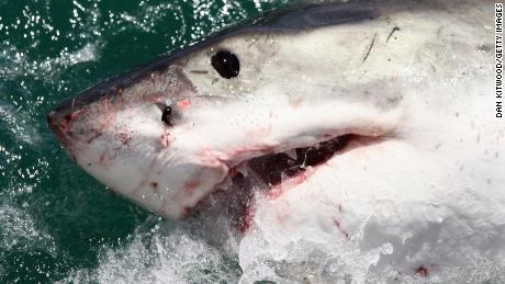 GANSBAAI, SOUTH AFRICA - OCTOBER 19:  A Great White Shark is attracted by a lure on the 'Shark Lady Adventure Tour' on October 19, 2009 in Gansbaai, South Africa. The lure, usually a tuna head, is attached to a buoy and thrown into the water in front of the cage with the divers. The waters off Gansbaai are the best place in the world to see Great White Sharks, due to the abundance of prey such as seals and penguins which live and breed on Dyer Island, which lies 8km from the mainland.  (Photo by Dan Kitwood/Getty Images)