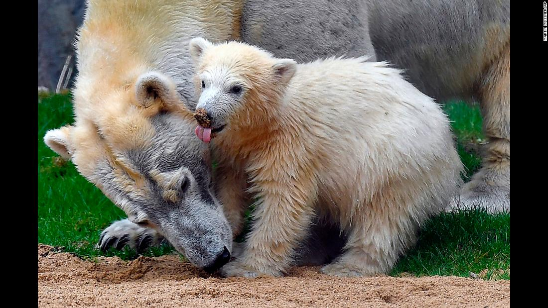 Nanook stands beside her mother at a zoo in Gelsenkirchen, Germany, on Friday, April 13. The baby polar bear was born in December and had stayed inside with her mother, Lara, until this day.