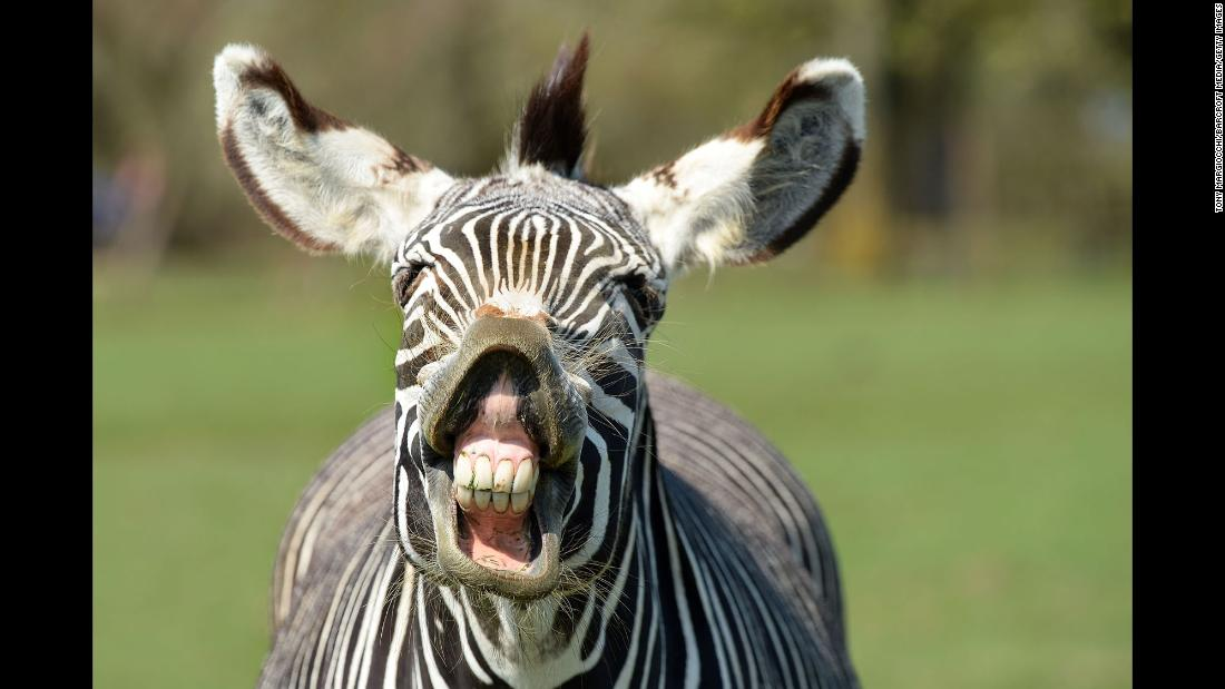 A Grévy's zebra enjoys the sunshine at the ZSL Whipsnade Zoo in Whipsnade, England, on Wednesday, April 18.