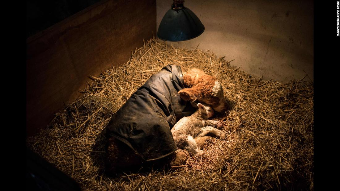 A critically ill newborn lamb and calf lie under a heat lamp on a farm near the town of Ambleside, northern England, on Wednesday, April 18.