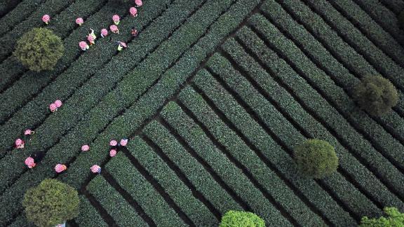 Zunyi, China: Children take part in a springtime tea-picking tour of Meitan County in China