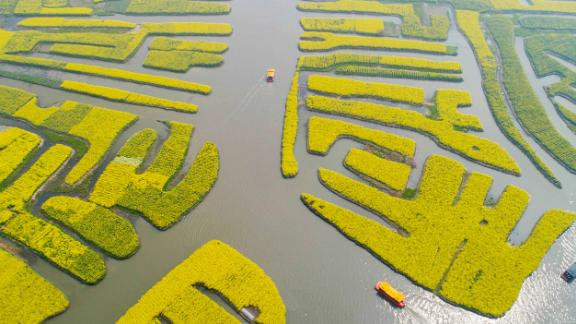 Xinghua, China: Captured on an April day, tourist boats sail among banks of brassica flowers in east China