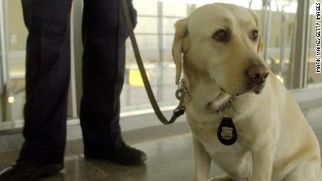 Police canine Labrador Catherine demonstrates is ready during a demonstrate of how canine teams will assist the Transportation Security Administration in screening lugguge for explosives at JFK International Airport December 10, 2002 in New York City.