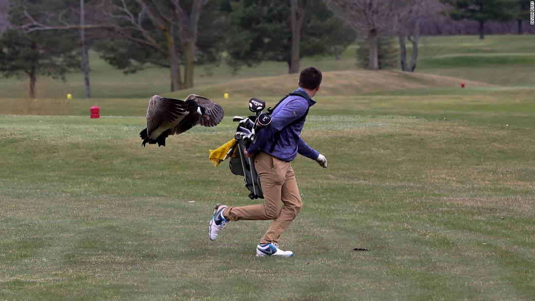 Goose levels golfer, reasserting dominance over all humankind