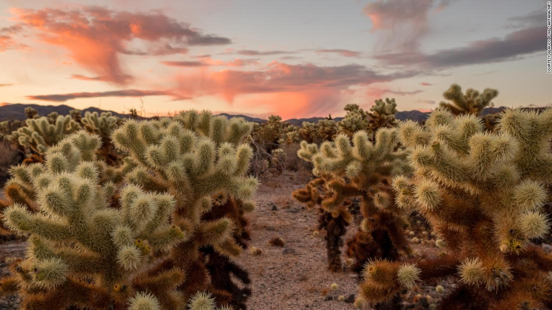 The Cholla Cactus Garden is a quick, flat quarter-mile loop through nearly 10 acres of cacti including teddybear cholla, identified by its yellow spines and dark lower trunk.