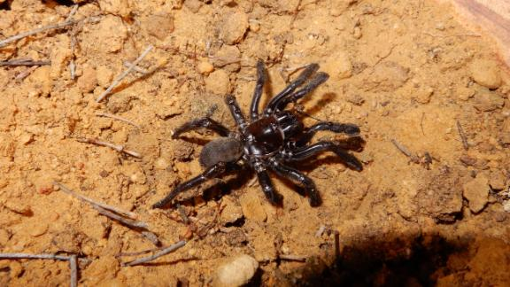 The world's oldest spider ever recorded died in Western Australia at the age of 43.