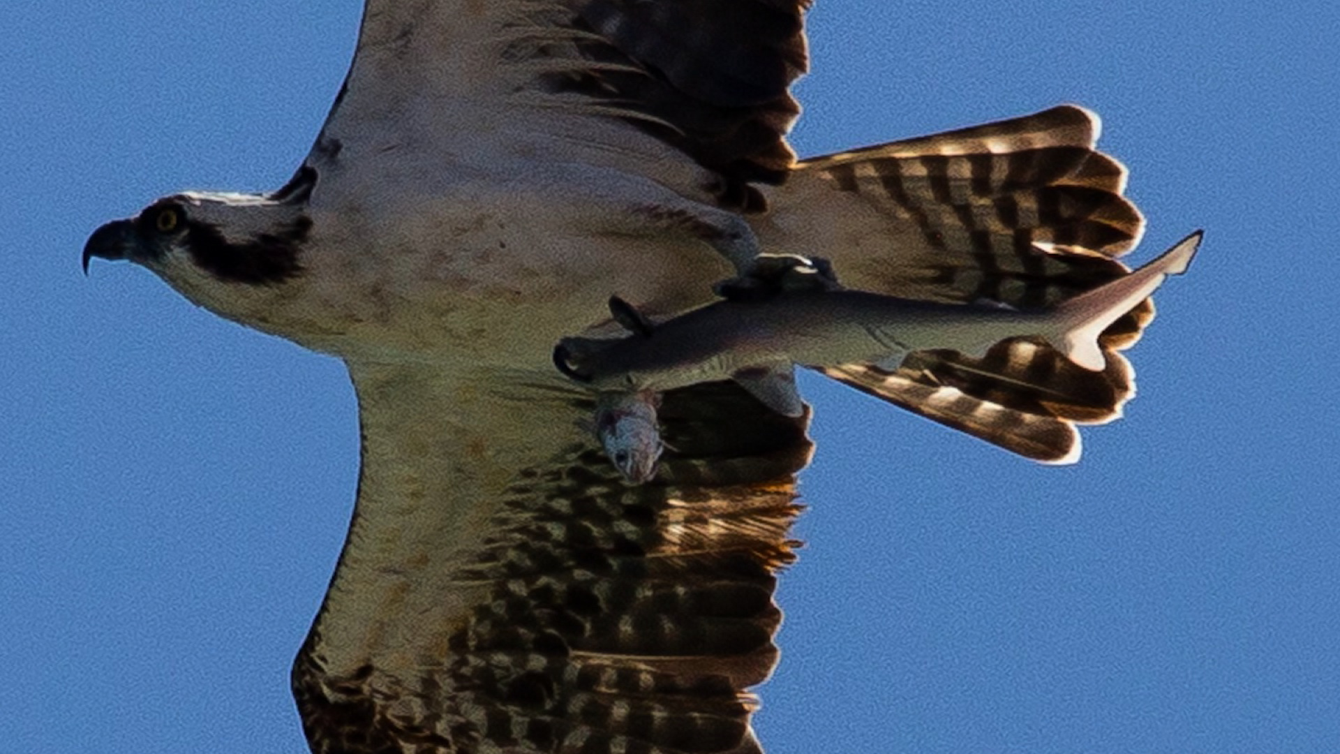 Rare photos show hawks food chain in action cnn video thecheapjerseys Gallery