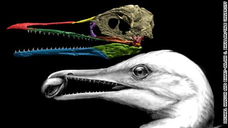 An image recreating the Ichthyornis dispar's skull, featuring the first bird beak.