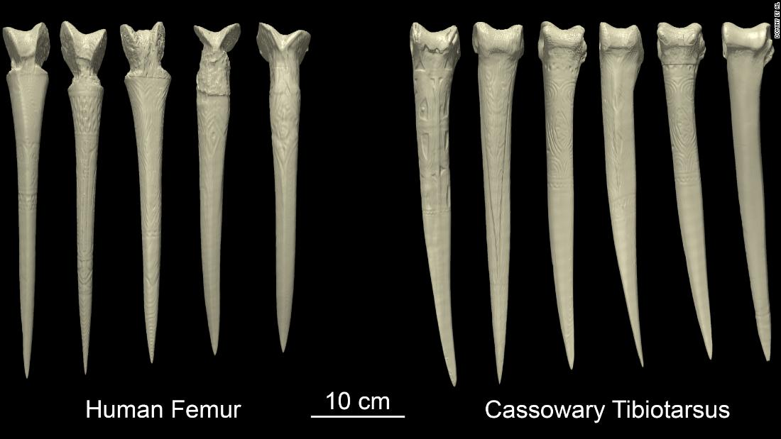 Anthropologist Nathaniel Dominy and his colleagues took CT scans of daggers made from human and cassowary bones and exposed them to virtual loads to see how they responded.
