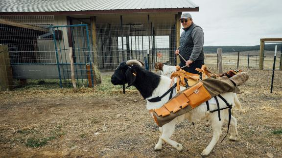 The goat golf bag was designed by Seamus Golf, whose co-founder Akbar Chisti is seen here walking Bruce.