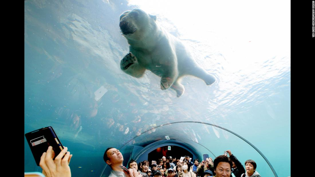 People watch a polar bear swim above them Friday, May 4, at the Maruyama Zoo in Sapporo, Japan.