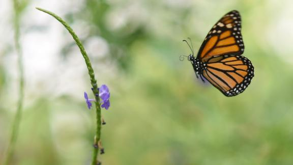 A Monarch butterfly (Danaus plexippus) is pictured at a butterfly farm in the Chapultepec Zoo in Mexico City on April 7, 2017.  Millions of monarch butterflies arrive each year to Mexico after travelling more than 4,500 kilometres from the United States and Canada. / AFP PHOTO / Pedro Pardo        (Photo credit should read PEDRO PARDO/AFP/Getty Images)