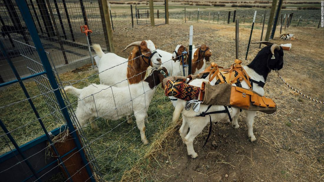Peanuts are a tasty treat for goats, and used to keep them honest in their caddy duties.