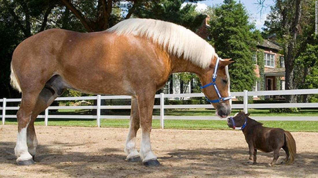 The smallest horse in the world ever - photo#50