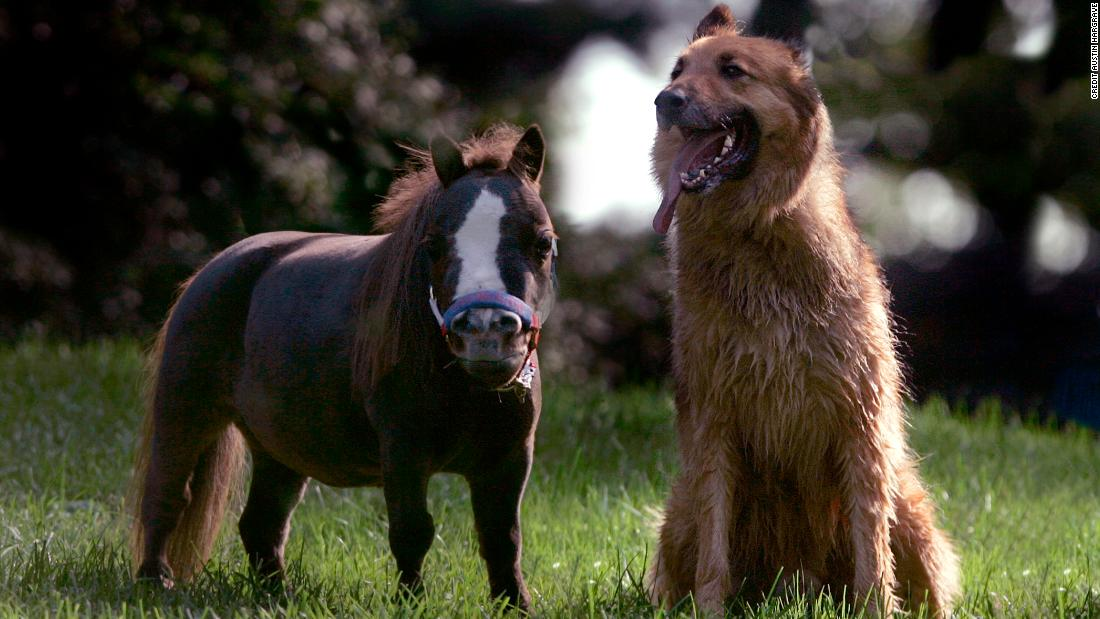 Thumbelina, the worlds smallest horse, weighs the same as a medium-sized dog.