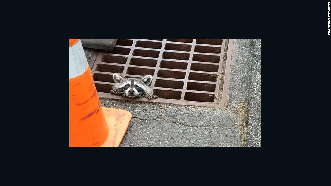 Help me! Raccoon rescued from storm drain