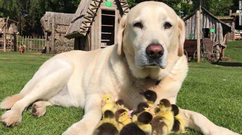 dog fred ducklings foster dad orig newsource_00000000.jpg