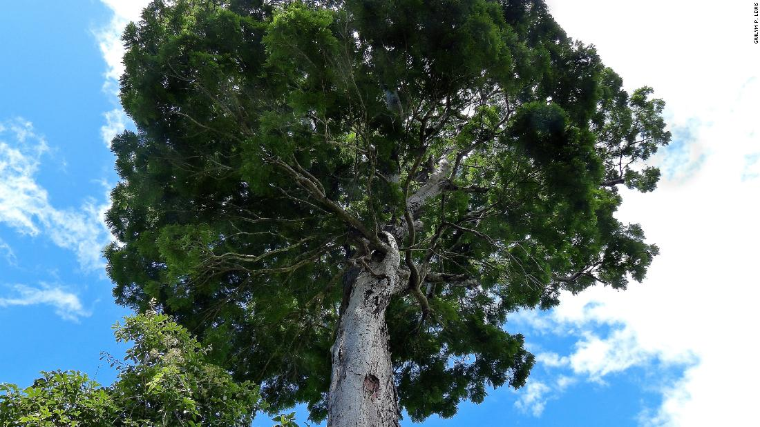 Atlantic forest tree (Dinizia jueirana-facao) <br />Location: Brazil