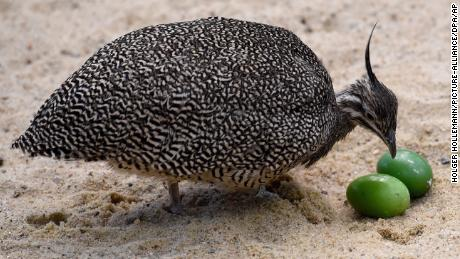 An elegant crested tinamou looking at eggs.