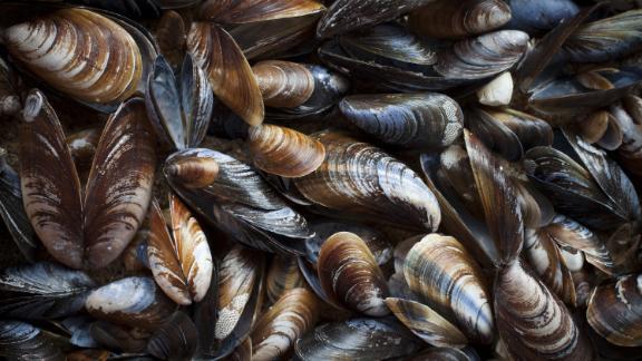 Blue mussel (Mytilus trossulus) shells picked at beach, North-West of Estonia, the Baltic Sea.