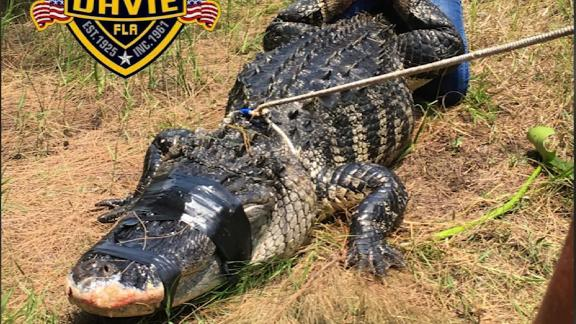 FL: ATTACK GATOR CAUGHT-PHOTO
