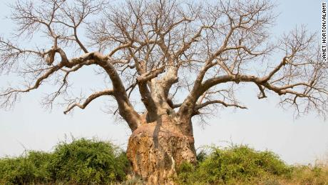 A large baobab tree in Lower Zambezi National Park in Zambia.