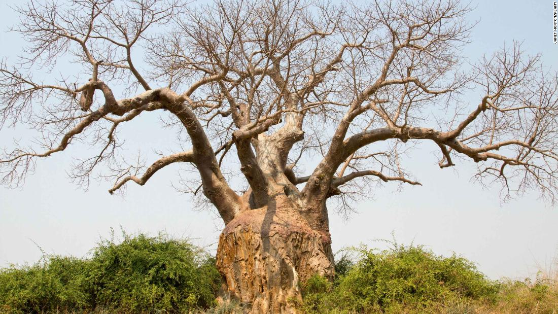 Some of Africa's oldest and biggest baobab trees have died