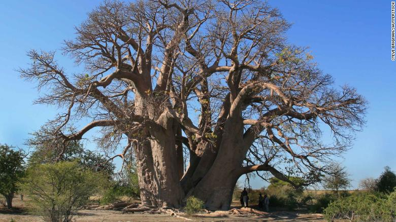 The Chapman baobab tree in Botswana, which collapsed in 2016.