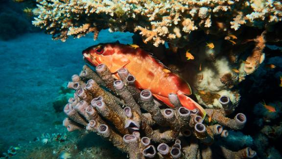 A carnivorous fish, the grouper lives and hunts prey on the coral reef.