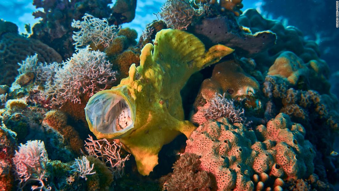 The yellow frog fish lives on the coral reef and relies on it for food and safety.