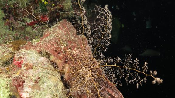 """By day, basket stars coil their long arms and hide in small nooks and crannies on the reef. At night they feed, unfurling their arms and capturing small particles with their """"branchlets."""""""