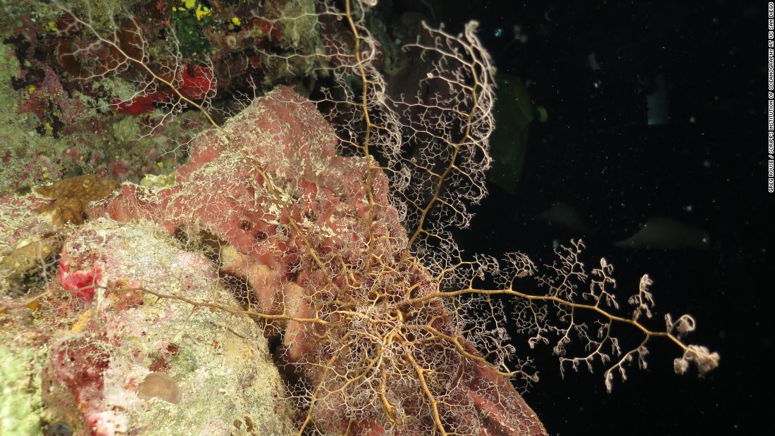 "By day, basket stars coil their long arms and hide in small nooks and crannies on the reef. At night they feed, unfurling their arms and capturing small particles with their ""branchlets."""