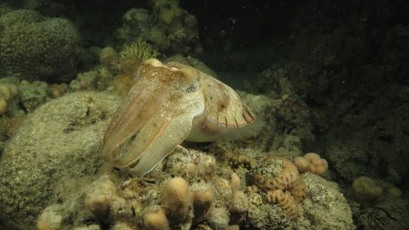 Despite its name, the cuttlefish is not a fish -- it's a cephalopod, and closely related to octopuses and squids. Considered one of the most intelligent non-vertebrate animals, cuttlefish hunt prey on the reef, mostly by night. Masters of camouflage, they can change color patterns almost instantly. They use color changes to catch prey, avoid being eaten by predators, and communicate -- both with other cuttlefish and other species.