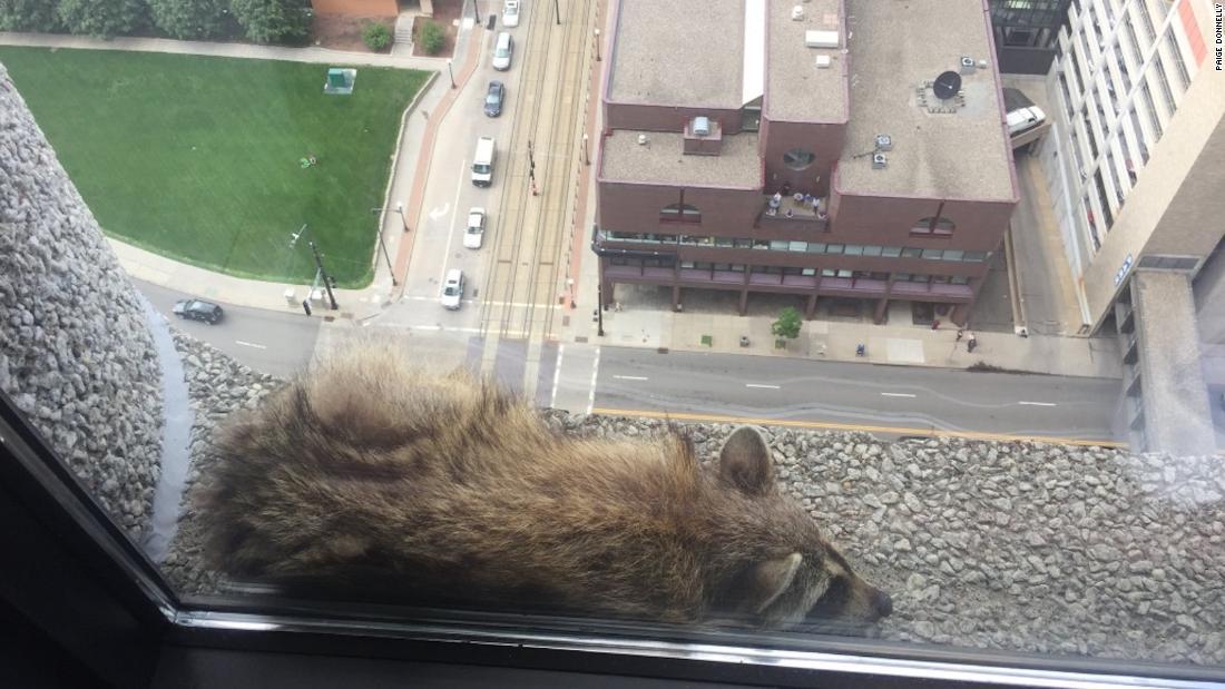 Raccoon captivates internet with Minnesota building climb ...