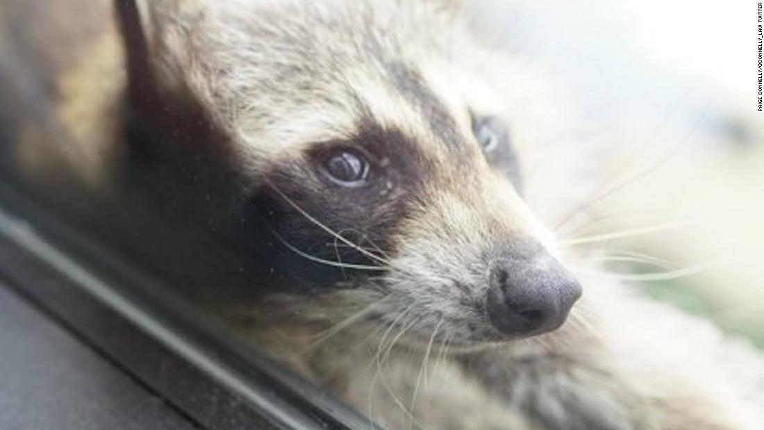 The Minnesota raccoon's journey has a deeper resonance