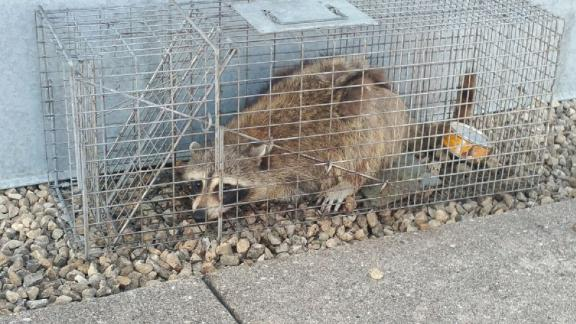 The raccoon that scaled a high-rise office building in St. Paul, Minnesota was caught atop the UBS Tower.
