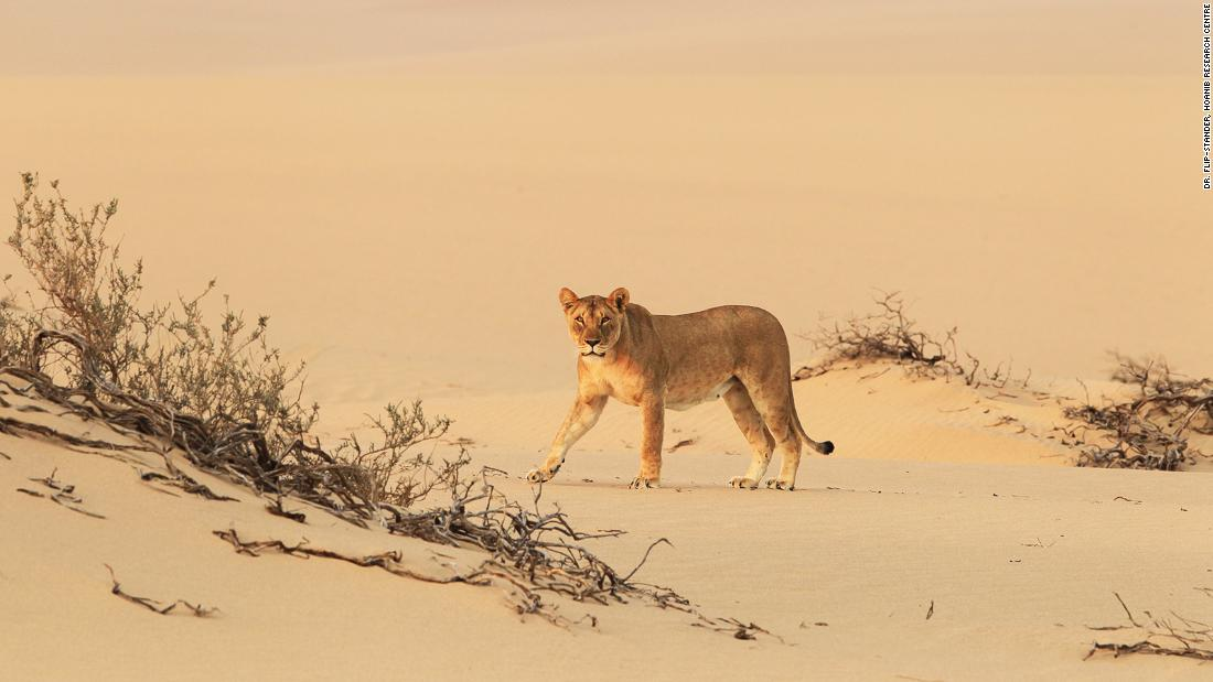 <strong>Unique population: </strong>The Hoanib Research Centre strives to protect and conserve these noble beasts of the desert coast.