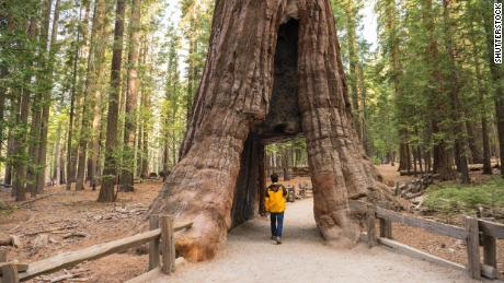 Giant sequoias on view at Yosemite after 3-year project