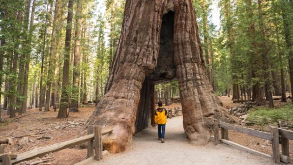 Over 5 million visitors head to Yosemite annually to take in the sights, including the California Tunnel Tree--the only remaining tunnel tree in the park.