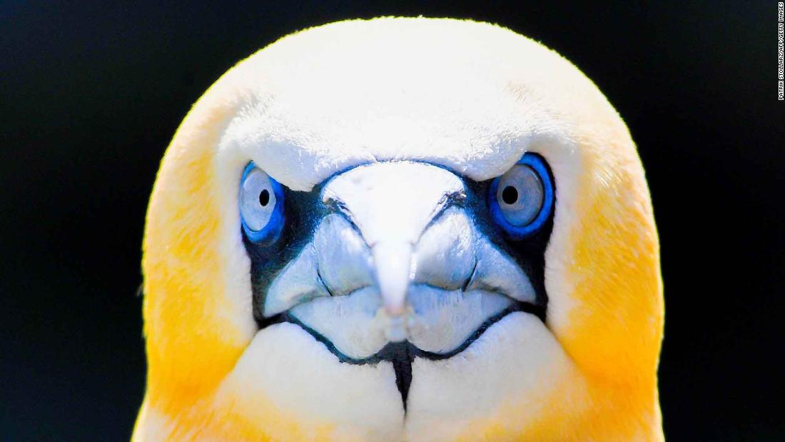 A seabird called a gannet is photographed at a zoo in Bremerhaven, Germany, on Thursday, June 7.