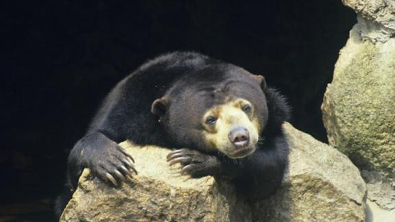 Sun bear (Helarctos malayanus), named after the sun-like spot on its chest. The smallest bear but still potentially dangerous. Range is tropical rainforest from Burma to Sumatra with smaller subspecies in Borneo. Southeast Asia. (Photo by Auscape/UIG via Getty Images)
