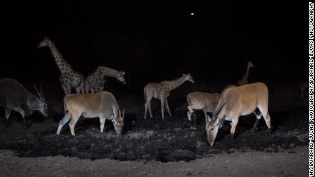 Giraffes and wildebeests congregate around a waterhole in the Zambezi region of Namibia at night.