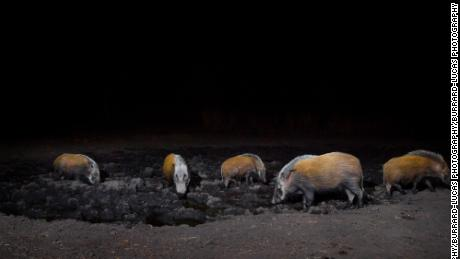 At night, hogs cluster around the watering hole in the Zambezi Region of Namibia.