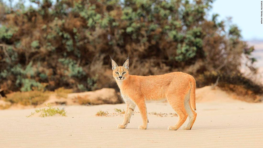 <strong>Wild cat: </strong>The tuft-eared caracal cat is one of the many rare animals that inhabit this part of the Namibian coastline.