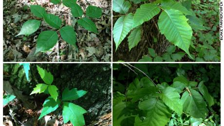 (From top left clockwise) Poison ivy with smooth edges; jagged edges; notched leaves; round leaves. All pictures were taken on a trail in a state park on Tennessee's Cumberland Plateau